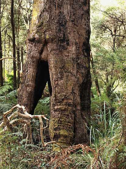 14.1 Scar tree 1