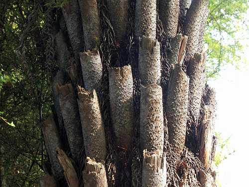 10.RoughTree fern trunksm