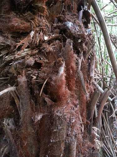 Dicksonia antarctica trunk sm