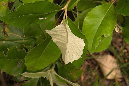 O.argophylla - EFG