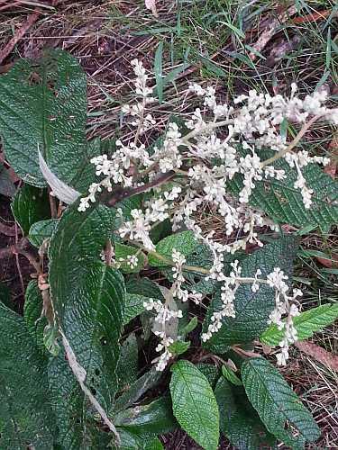 Pomaderris flower sm
