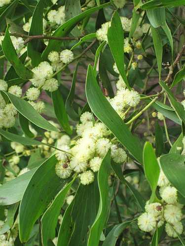 Acacia melanoxylonsm