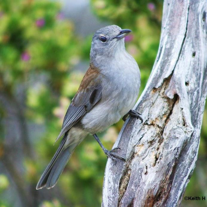 GREY-SHRIKE THRUSH